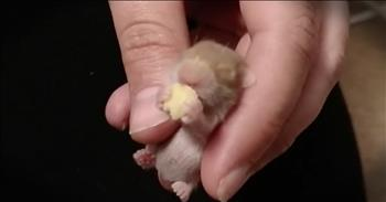 Baby Hamster's Nighttime Snack Is Too Cute To Miss!