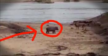 Baby Hippo Protects Sick Mama From Lion