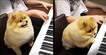 Precious Pomeranian Plays The Piano With His Human
