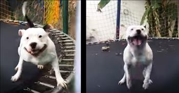 Happy Pit Bull Jumps On Trampoline