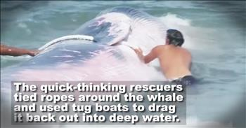 Good Samaritans Rescue Dying Whale In The Surf