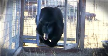 Bear Takes First Steps Of Freedom After 10 Years In Cage