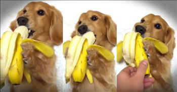 Dachshund Pup Loves His Banana