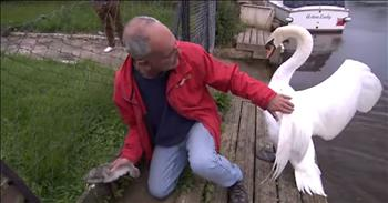 Baby Swan Is Saved By A Gentle Man As Concerned Dad Hovers Over