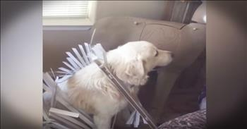 Funny Guilty Dog Avoids Eye Contact With Human