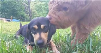 Baby Calf Thinks He's A Dog