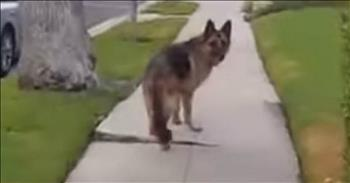 Funny German Shepherd Plays Hide And Seek