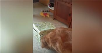 Golden Retriever Opens Box With Puppy Inside