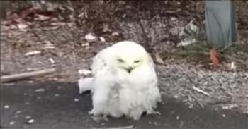 Starving Owl On Road Gets Saved By Good Samaritan