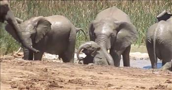 Herd Of Elephants Save Drowning Calf
