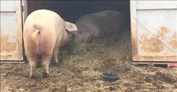 Rescued Pig Brings Lunch To His Brother