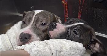 Pit Bull Brothers Rescued From The Streets