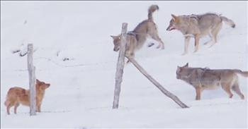 Brave Dog Escapes Pack Of Angry Wolves