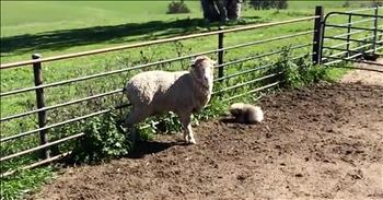 Tiny Fluffy Puppy Tries To Herd Sheep