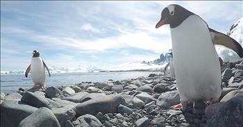 Curious Penguin Tries To Steal Camera