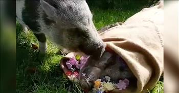 Pig Stays By Soulmate's Side After Her Death