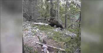 Group On Hike Have Close Encounter With A Grizzly Bear