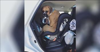 Boxer Thinks The Baby's Carseat Is For Him