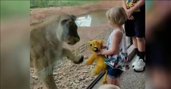 Lioness Reacts To Toddler's Stuffed Animal Lion