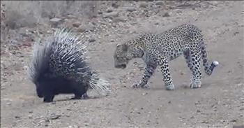 Tiny Porcupine Manages To Fend Off Leopard