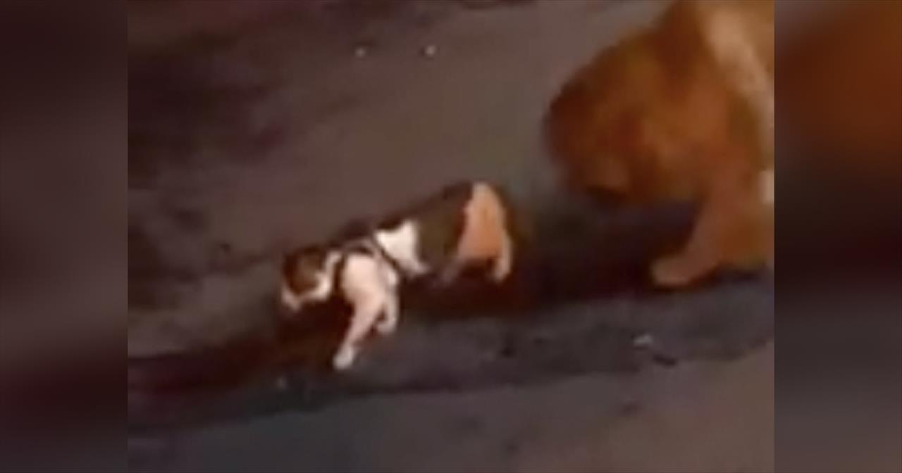 Dog+Stops+Cat+From+Getting+In+A+Fight