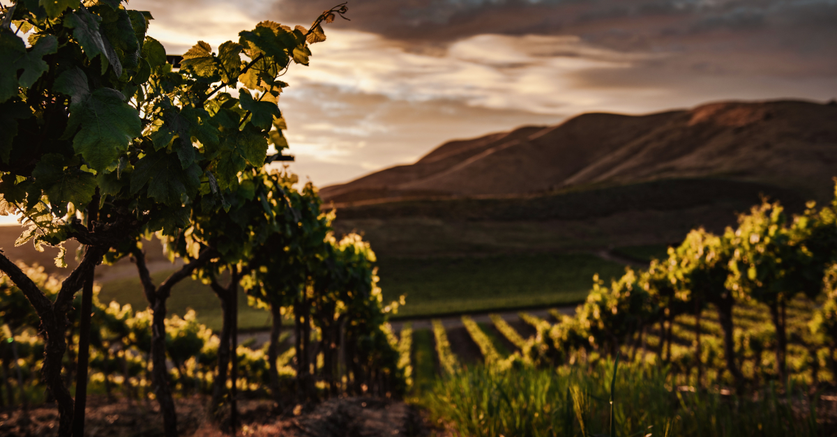 vineyard of grapevines I Am the Vine You Are the Branches John 15 5