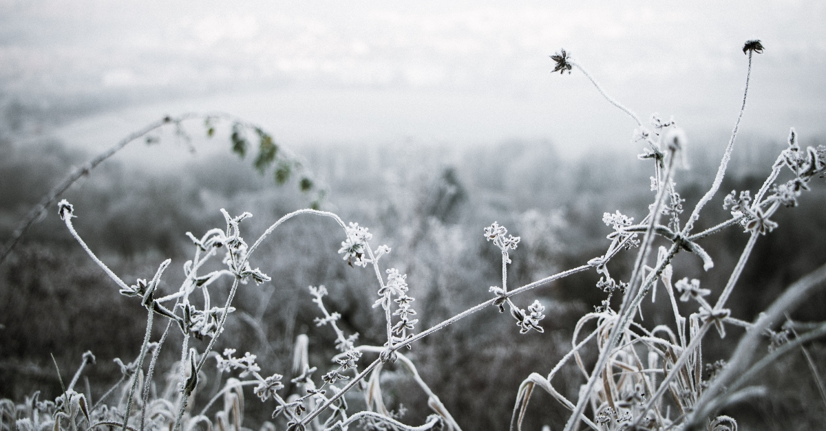winter scene with frozen greenery