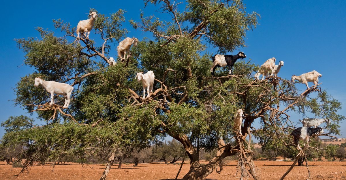 herd of goats in tree - why is satan a goat