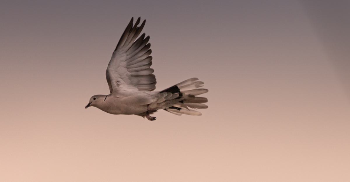 beautiful flying dove in soft sky light, how god makes peace in our souls